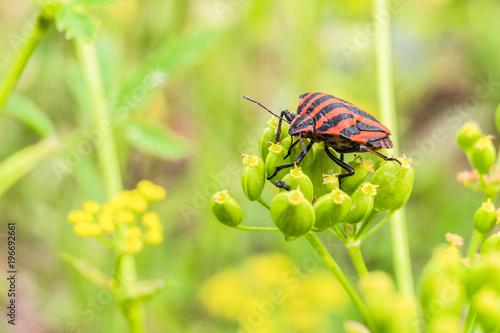 Fotografie, Obraz  eating umbelliferous plants