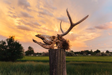 Decomposing Deer Skull In Front Of An Orange Sunset Sky.