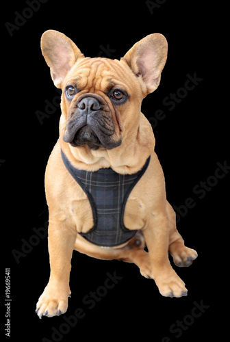 In de dag Franse bulldog French Bulldog Puppy Male Brown Sitting Isolated with Black Background