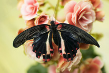 Tropical Butterfly On A Begonia Flower