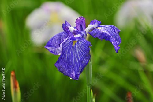 Keuken foto achterwand Iris 花菖蒲