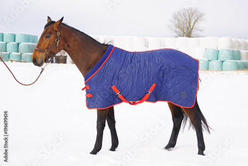 Fototapeta Brown shaved horse covered with a blanket staying and posing on a snow in winter obraz