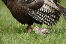 Wild Turkey Paolt
