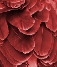 Close-up Of Red Feathers Of Ma...