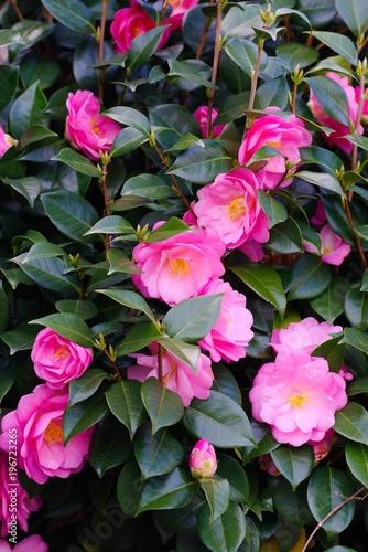 Canvas-taulu Camellia japonica (Tsubaki)