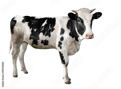 Garden Poster Cow Spotted black and white cow full length isolated on white. Funny cute cow isolated on white. Young cow, standing full-length in front of white background and looking at the camera. Farm animals.