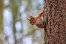 Peeping Red Squirrel