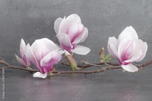 Plakat Piękna kwitnąca gałąź magnolii