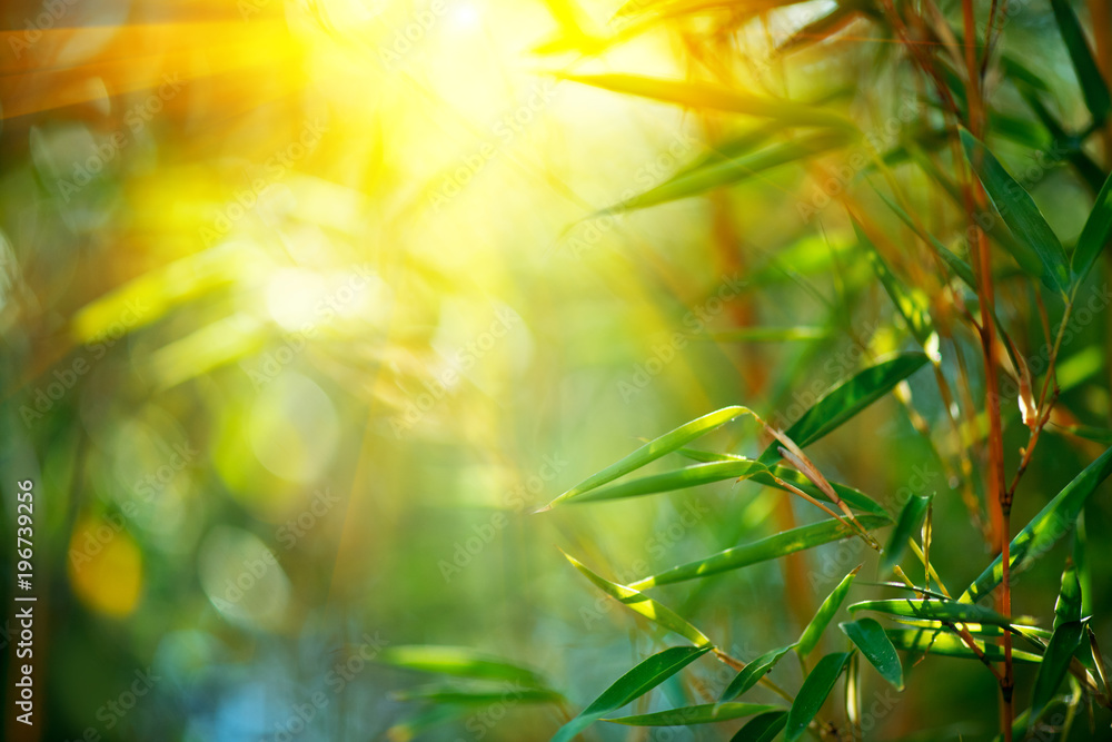 Bamboo forest. Growing bamboo over blurred sunny background. Nature backdrop