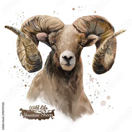 Mountain sheep. Watercolor painting Fototapet