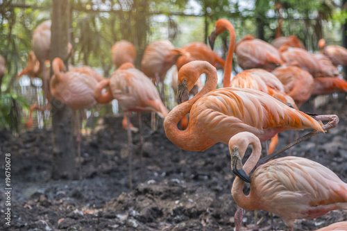 Foto op Aluminium Flamingo Group of Greater Flamingo