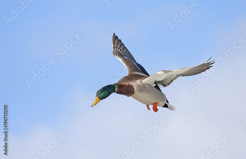 Male Mallard duck (Anas platyrhynchos) drake in flight isolated against a blue winter sky in winter in Ottawa, Canada
