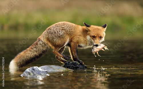 Red fox at the small pond Wallpaper Mural
