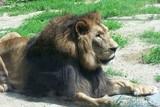Fototapeta Sawanna - A resting lion