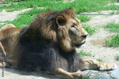 A resting lion