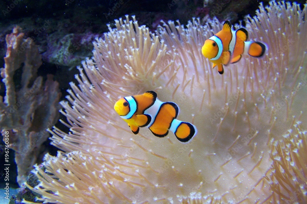Fototapeta An ocellaris clownfish, nemo
