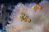 Fototapeta Do akwarium - An ocellaris clownfish, nemo