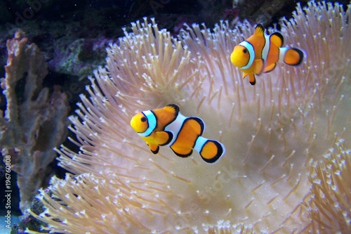 In de dag Onder water An ocellaris clownfish, nemo