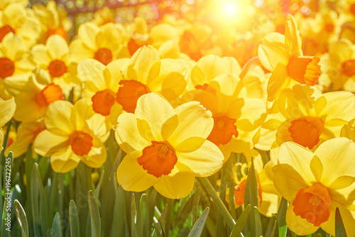 Bright vivid yellow daffodils flowers