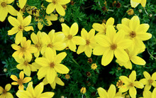 Coreopsis 'Citrine'