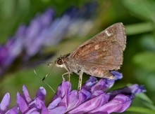 A Dusted Skipper (Atrytonopsis Hianna) On A Purple Patch Of Common Vetch Wildflowers In Springtime.