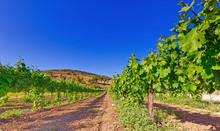 Vineyard In Isareal, Against T...