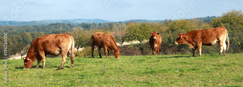 Cadres-photo bureau Vache Vaches limousines au champ