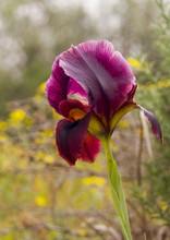 Wild Iris Argaman  Or Coastal ...