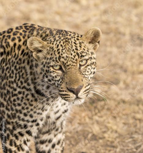 Poster Luipaard Male Leopard portrait