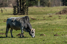 Zebu Cattle Eating