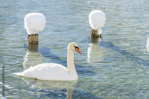 Staande foto Zwaan Dobbiaco/Toblach, province of Bolzano, South Tyrol, Italy. Winter at the Lake Dobbiaco with floating swan