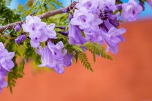 Jacaranda Is A Genus Of 49 Species Of Flowering Plants In The Family Bignoniaceae,