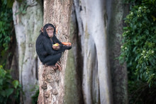 Young Chimpanzee Sits On A Tre...