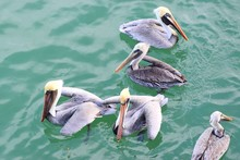 Close-up Of Pelicans Floating ...