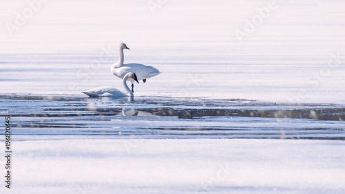 Fototapeta Swan couple are swimming in icy lake in early spring at Minnesota obraz na płótnie