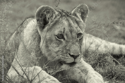 Fototapety, obrazy: Lions of the grasslands of Africa.