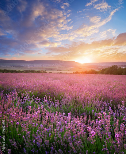 Obraz Meadow of lavender and sunshine. Landscape and agriculture nature composition. - fototapety do salonu