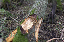 Fallen Tree After A Strong Autumn Storm In A Forest