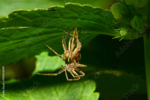 Close-up of a young faded spider-wolf Arachnida sitting under a green leaf in th Canvas Print