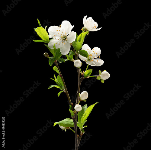 Blooming cherry branch on black background. Macro. Nature. High resolution product