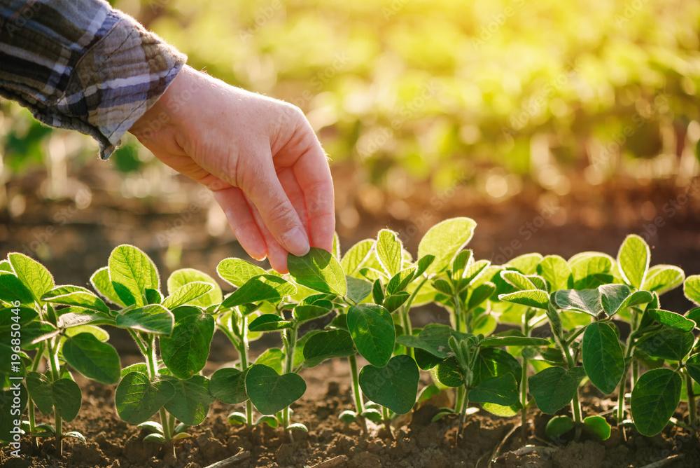 Fototapety, obrazy: Growing soybean