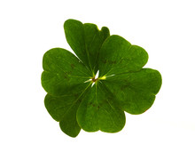 Six-leaf Clover Isolated Over ...