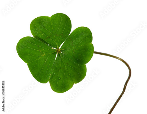 Shamrock leafs and stem isolated on white
