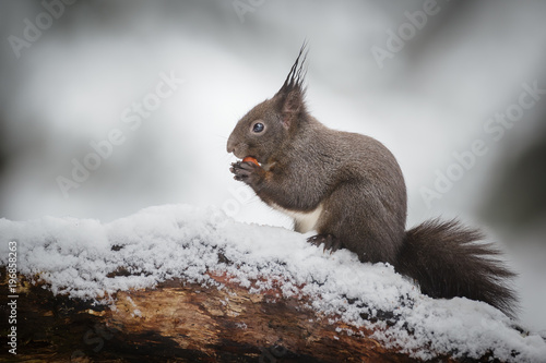 Fotobehang Eekhoorn Winter squirrel in snow