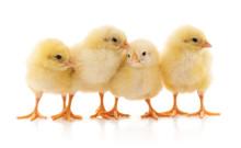 Four Yellow Chicken.