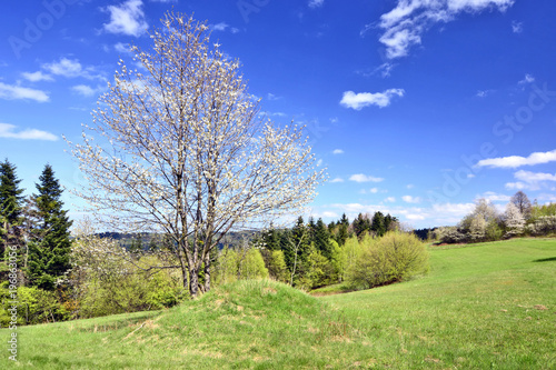 Blooming tree on green meadow. Spring landscape, Beskid Niski, Poland
