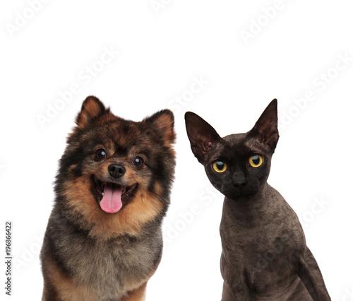cute pomeranian dog and black cat looking curious © Viorel Sima
