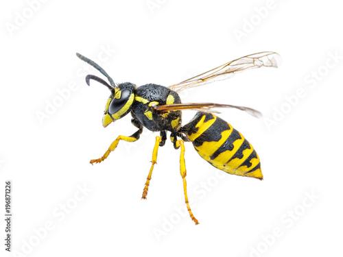 Valokuva  Yellow Jacket Wasp Insect Isolated on White