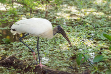 Wood Stork Mycteria Americana Hunts For Prey And Eats