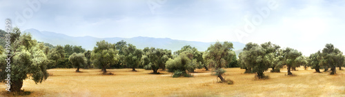 Foto op Plexiglas Olijfboom Panoramic view of Olive Farm.